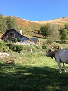 vache à Aas